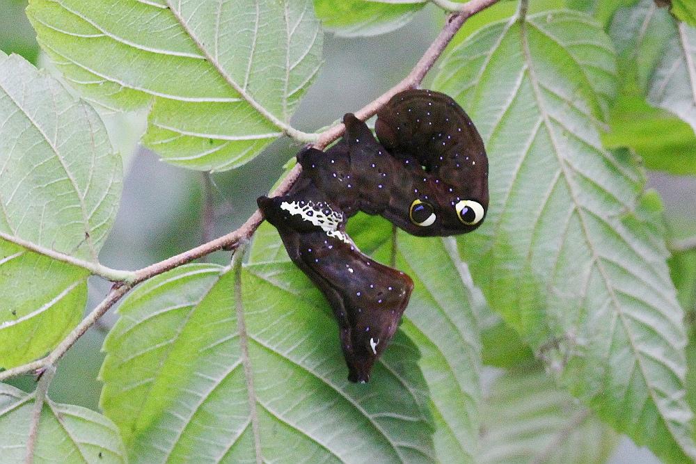 ミドリモンコノハ幼虫_s