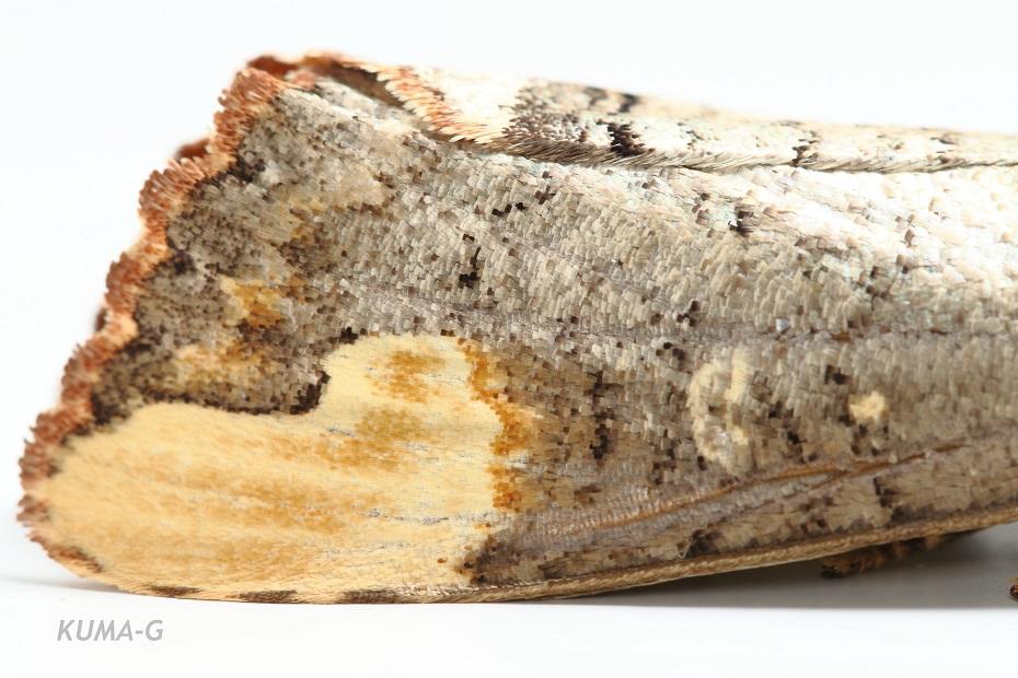 Phalera assimilis