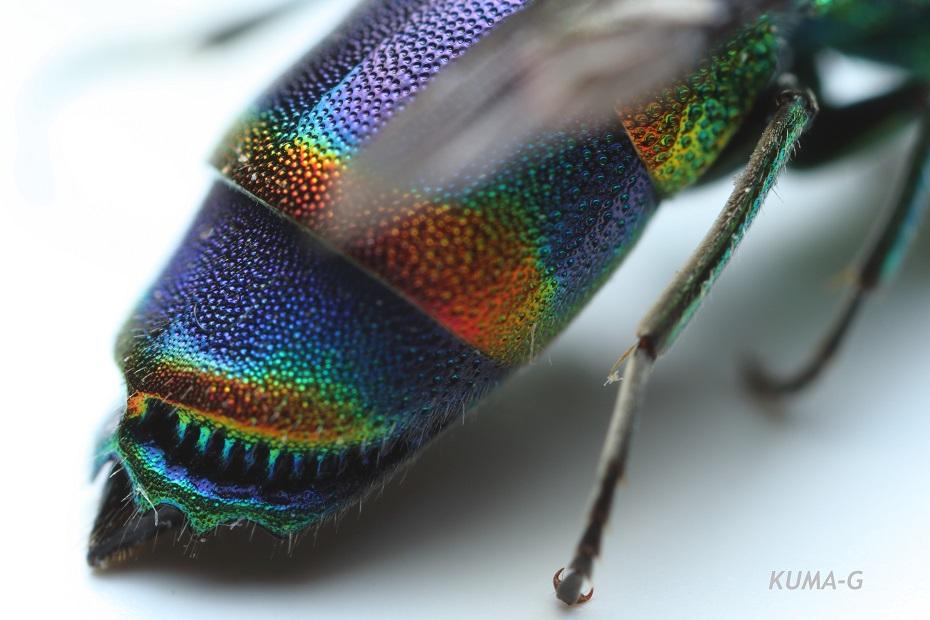 Chrysis fasciata