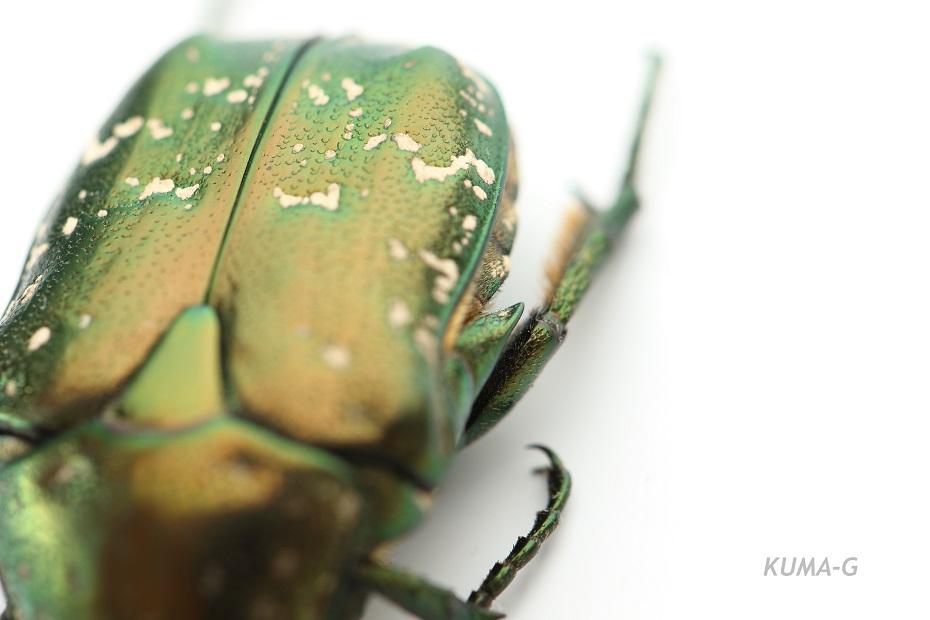 Protaetia orientalis submarumorea