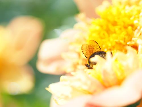 蜂 ハチ マルハナバチ ダリア