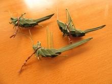 シュロの葉バッタ (10)