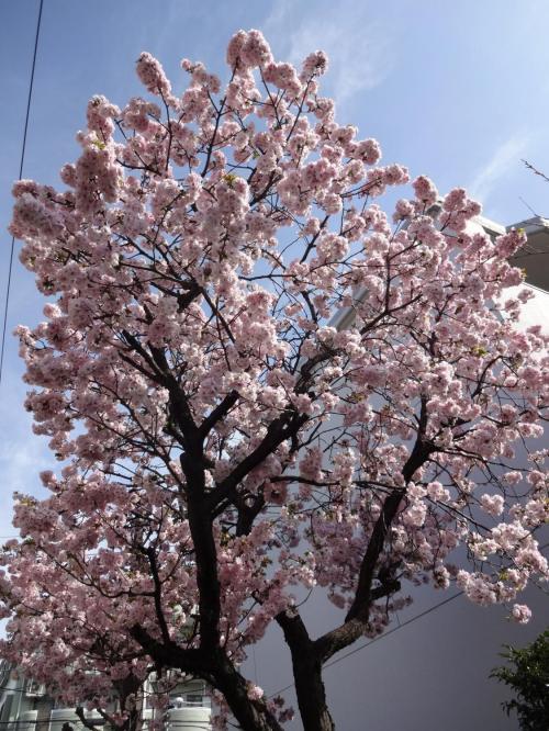 八重桜_convert2
