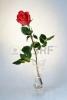 10843527-クリスタルの花瓶で単一の赤いバラ