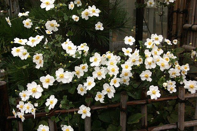 秋明菊z1