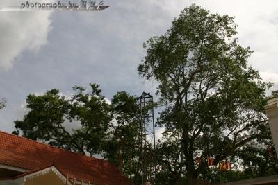 201407Bodhi Tree