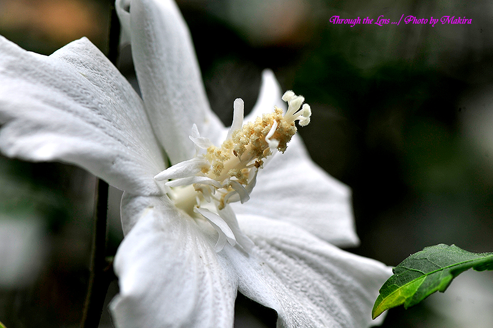 ムクゲ'ラージホワイト'1