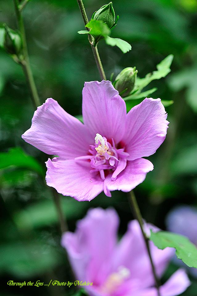 ムクゲ'紫盃'1