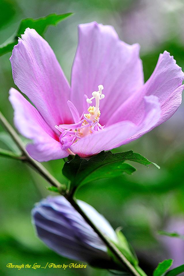 ムクゲ'紫盃'2