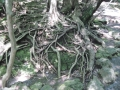 H27.9.11楽寿園溶岩の上の樹の根@IMG_2958