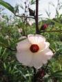 H27.9.21ピンク花ローゼルの花@IMG_6277