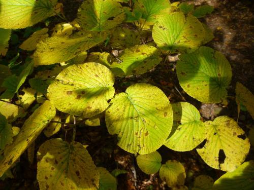オオカメノキ黄葉