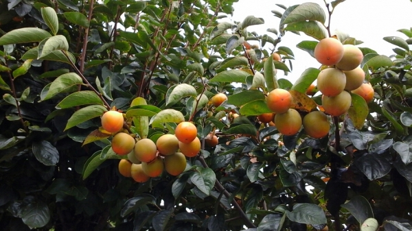 柿の実2015