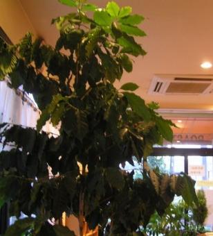 2015コーヒーの木