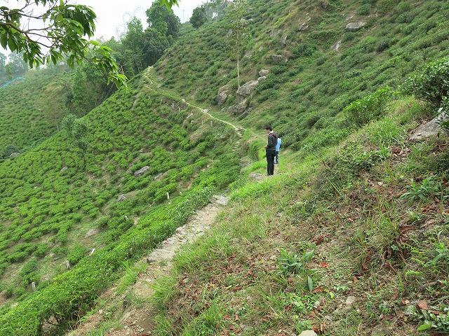 マカイバリ茶園の茶畑