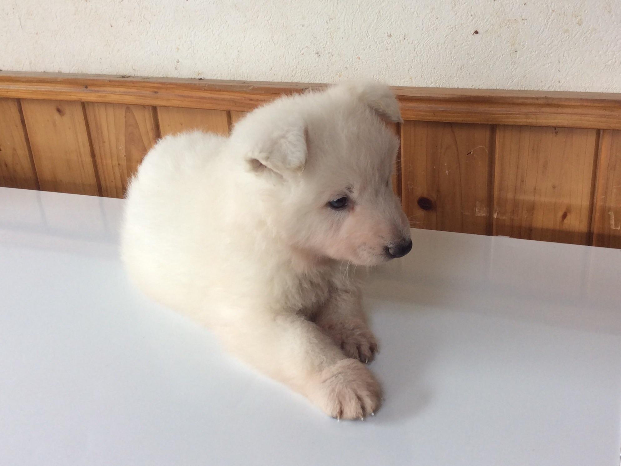 ホワイトシェパードひなたの子犬1‐3