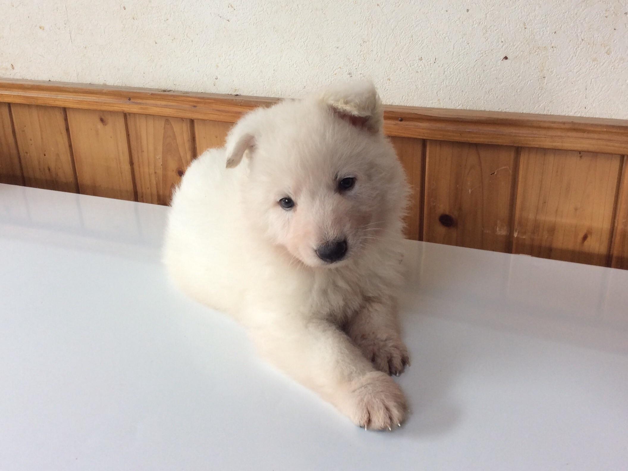ホワイトシェパードひなたの子犬1‐2