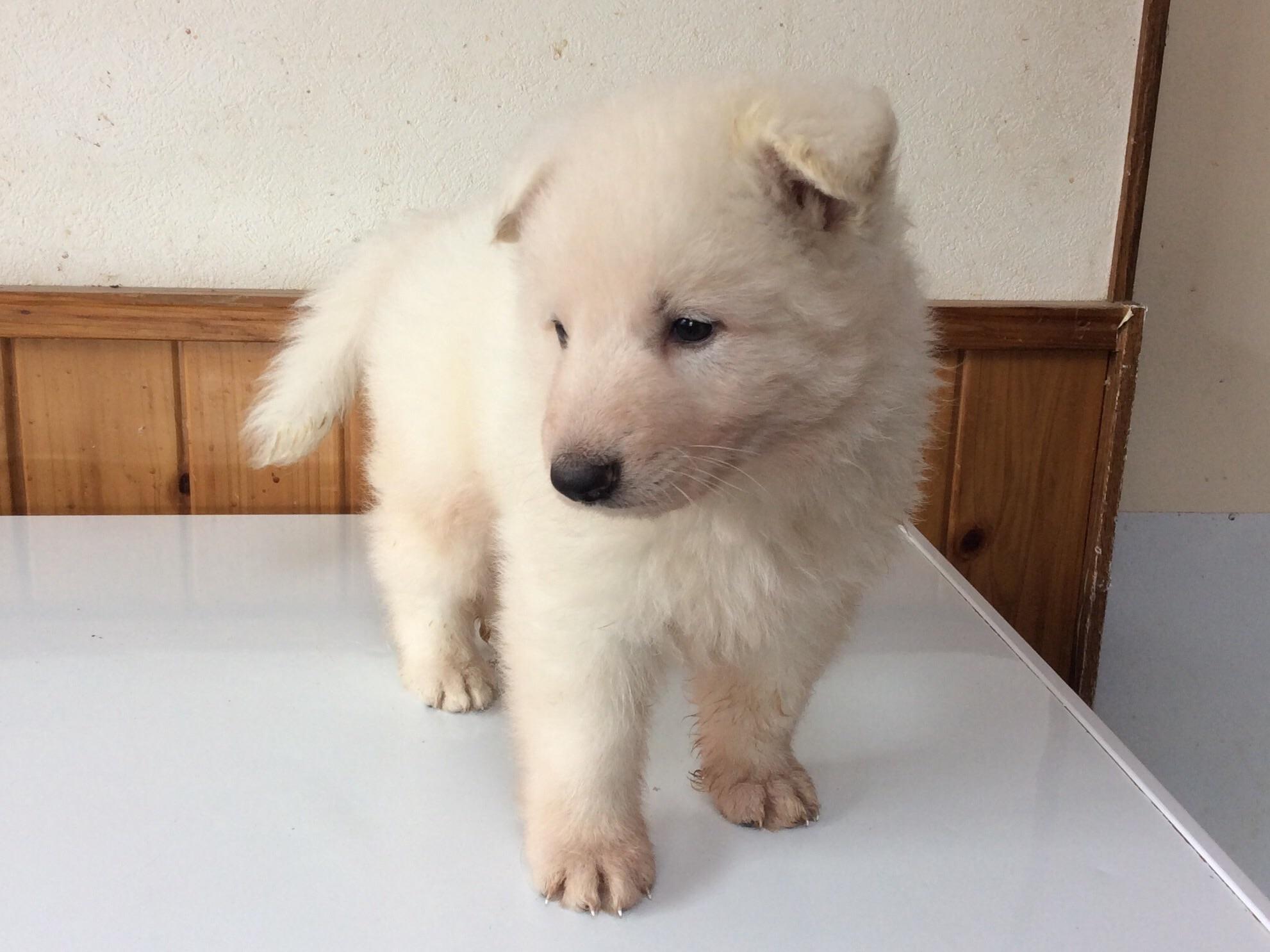 ホワイトシェパードひなたの子犬1‐1