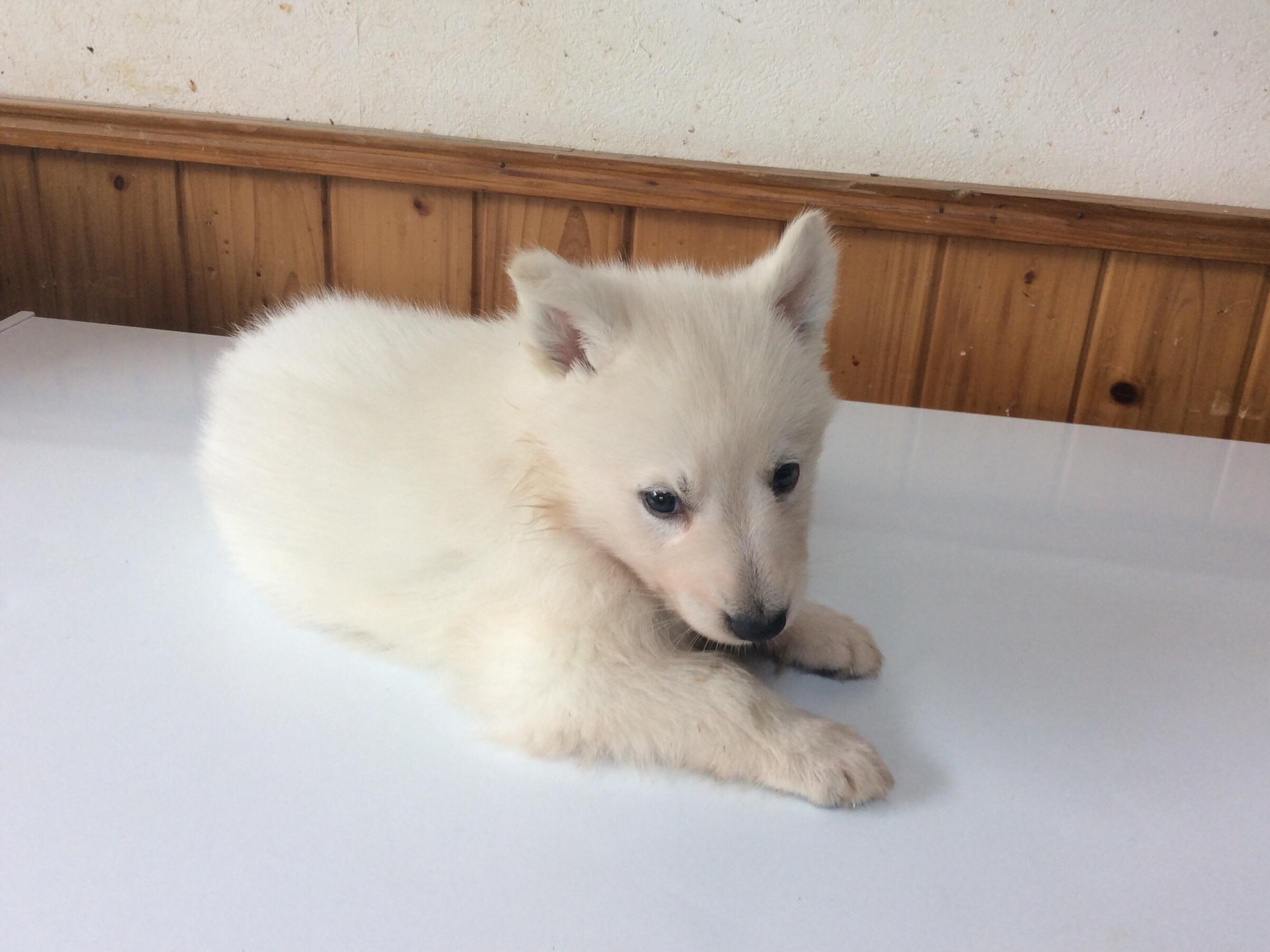 ホワイトシェパードひなたの子犬