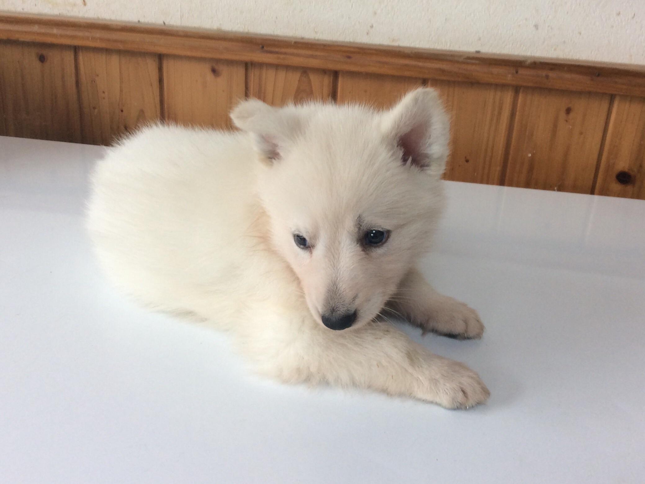 ホワイトシェパードひなたの子犬3