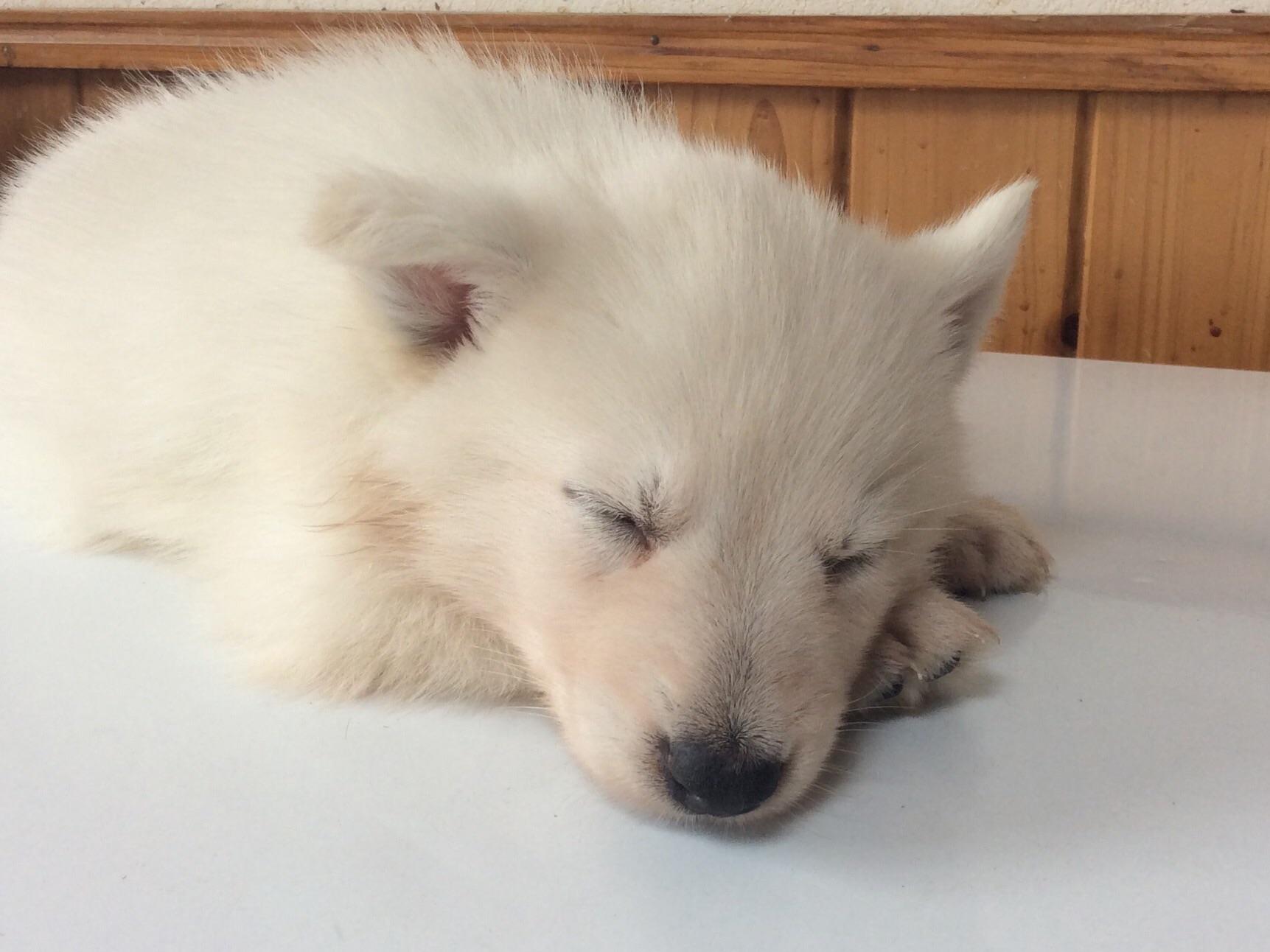 ホワイトシェパードひなたの子犬3‐3