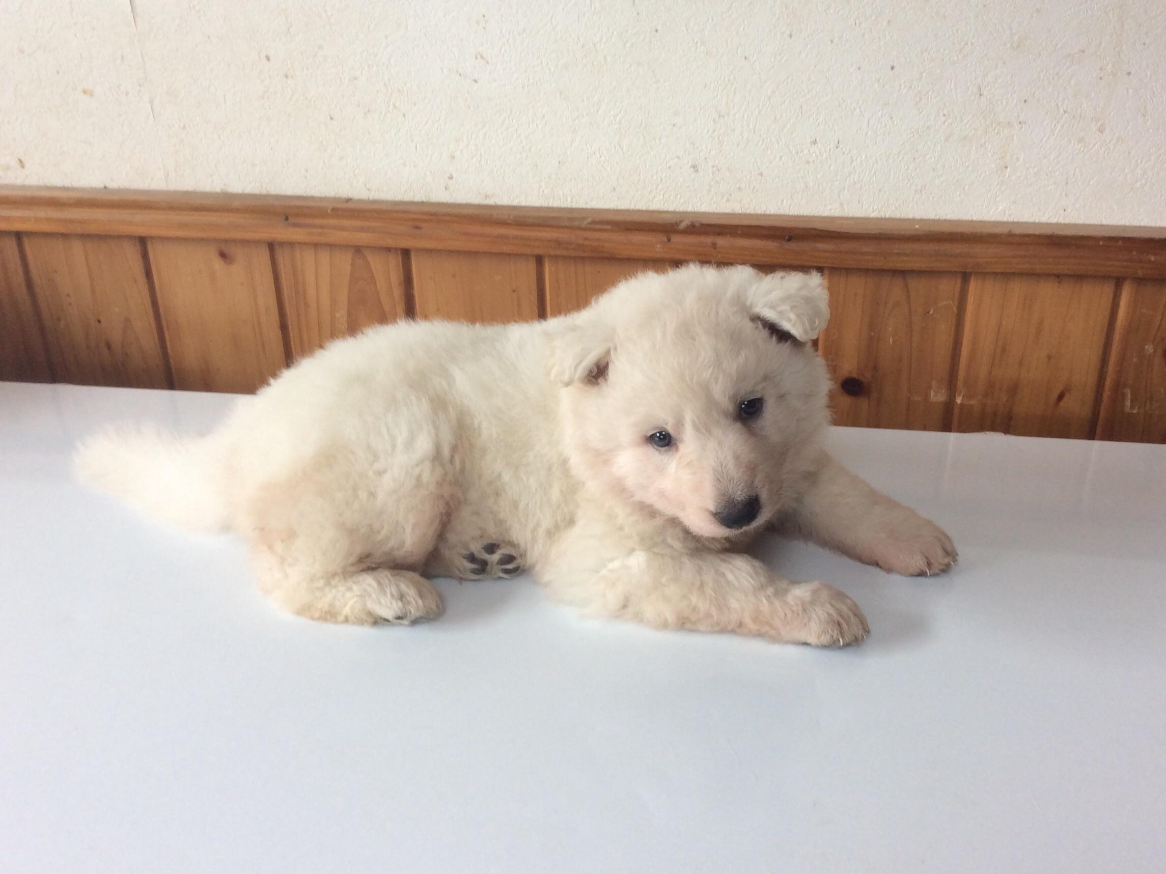 ホワイトシェパードひなたの子犬4‐3