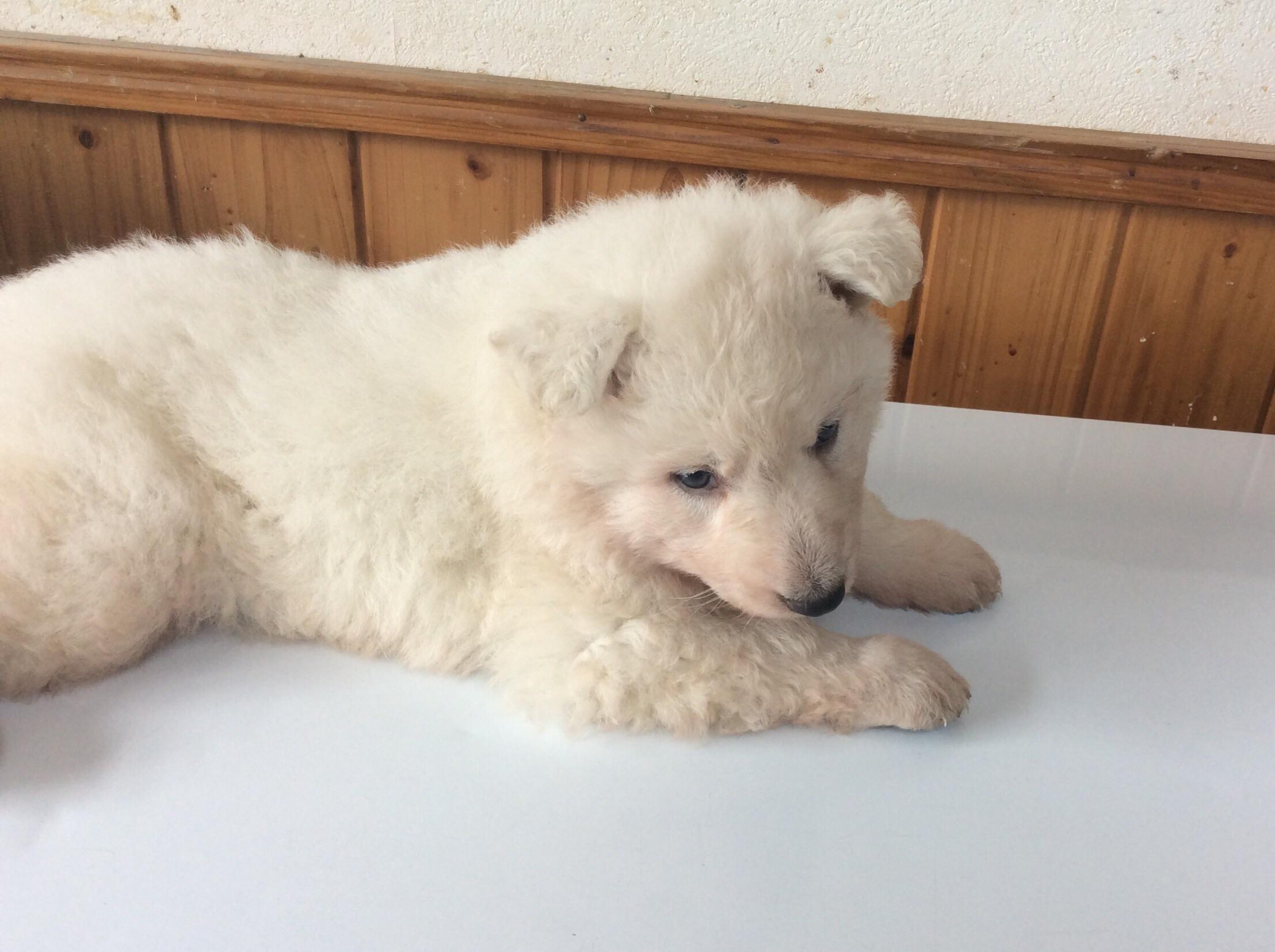 ホワイトシェパードひなたの子犬4‐2