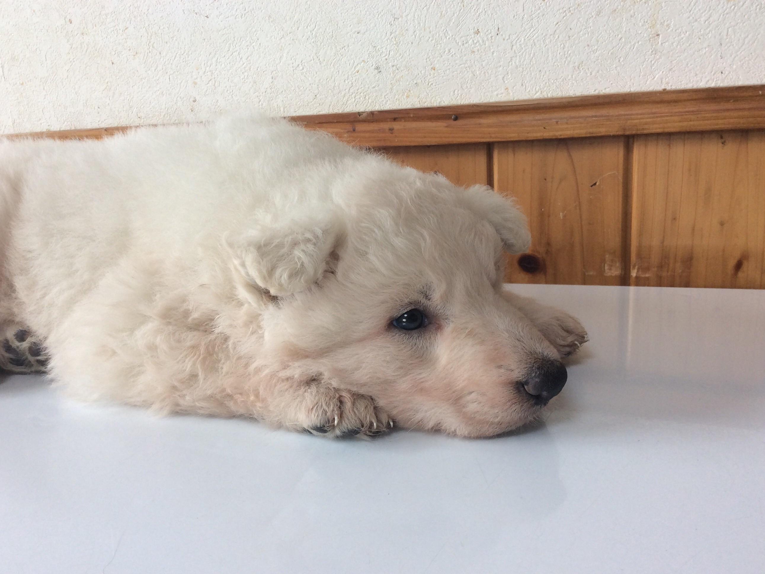 ホワイトシェパードひなたの子犬4‐1
