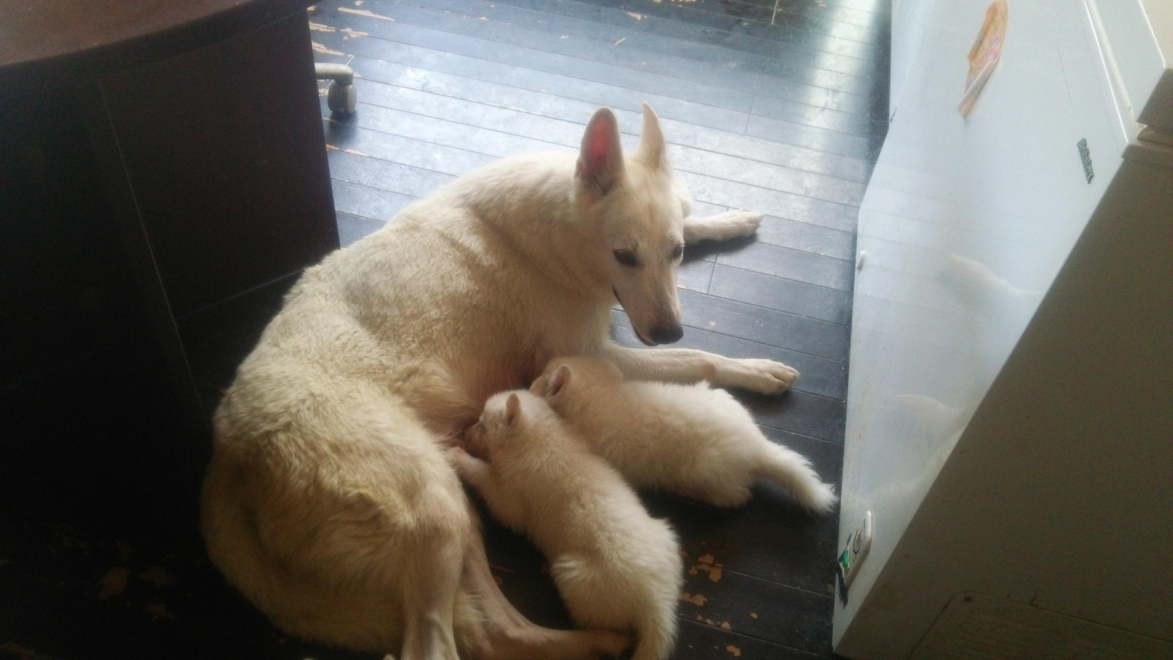 ホワイトシェパードひなたの最後の子犬出産