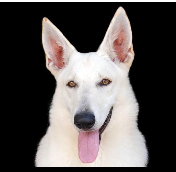 オオカミ顔のホワイトシェパード カプチーノ