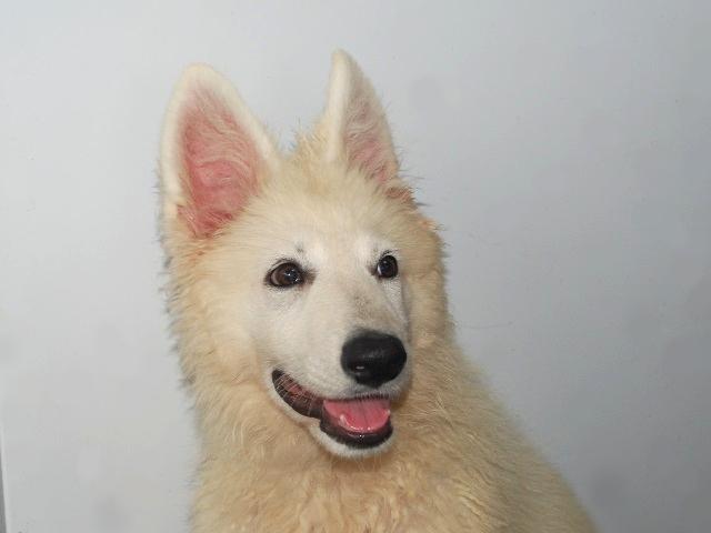 ホワイトシェパードてまりの子犬2
