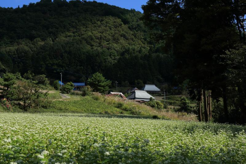 影のある蕎麦畑