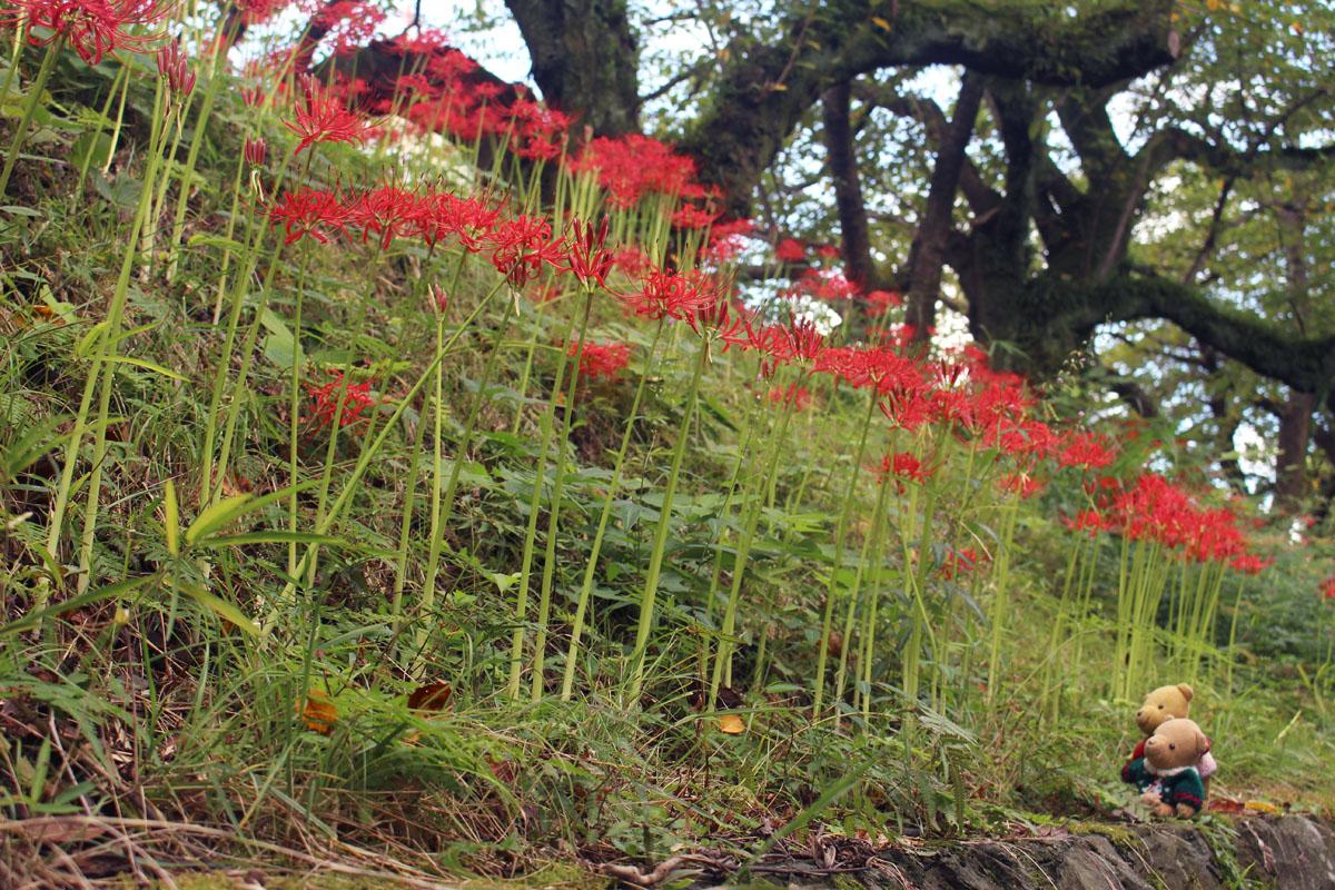 森林管理署前の彼岸花と1 150919