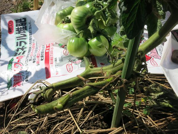 折れたトマトの茎2