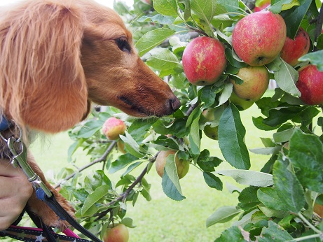 つぴとりんご