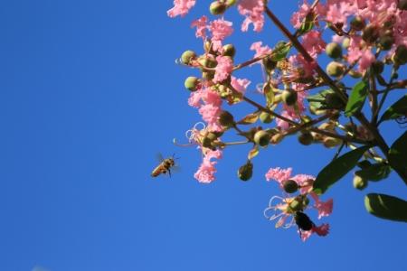 サルスベリとミツバチ。_10