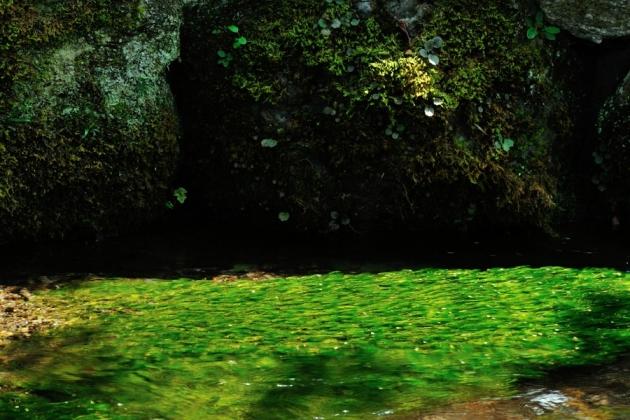 梅花藻150809-4