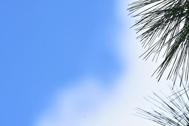 松の木と五色鳥(3)