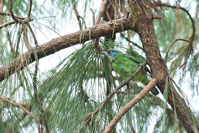 松の木と五色鳥(4)