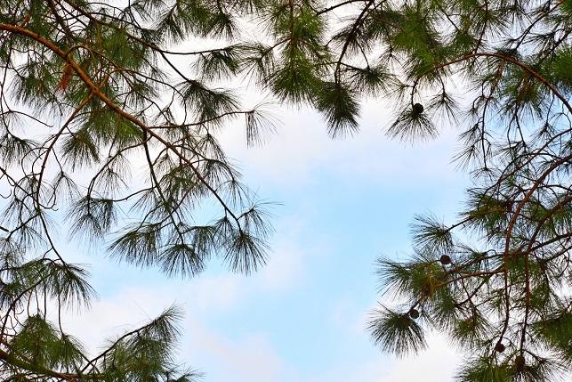 松の木と五色鳥(1)