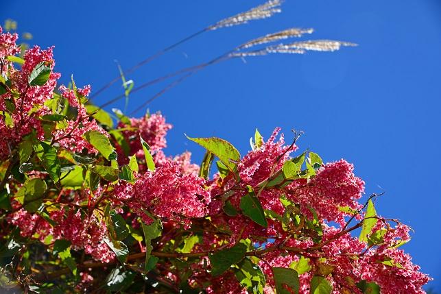 紅虎杖が咲く山で(3)
