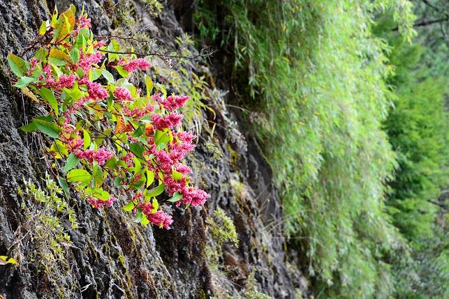 紅虎杖が咲く山で(1)