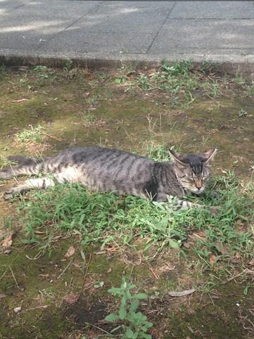 野性を忘れた猫たち (17) (コピー)