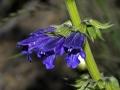 Lamiaceae_-_Horminum_pyrenaicum[1]