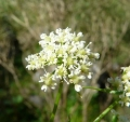 hladnikia-pastinacifolia21566[1]