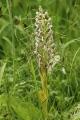 Himantoglossum_hircinum_LC0347[1]