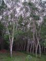 Rubber_tree_plantation[1]