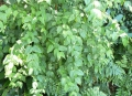 Halleria_lucida_-_foliage_3[1]