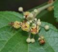 Guazuma_ulmifolia_2[1]