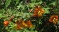 Fremontodendron_californicum_decumbens[1]